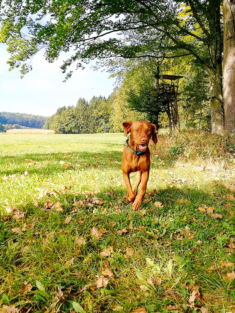 Ares laufend auf der Wiese